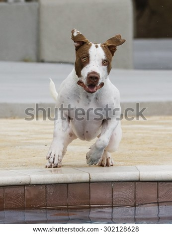 Dog jumping into the pool caught with his ears up - stock photo