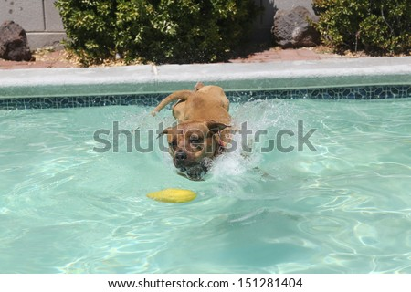 Dog jumping into the pool for a toy - stock photo