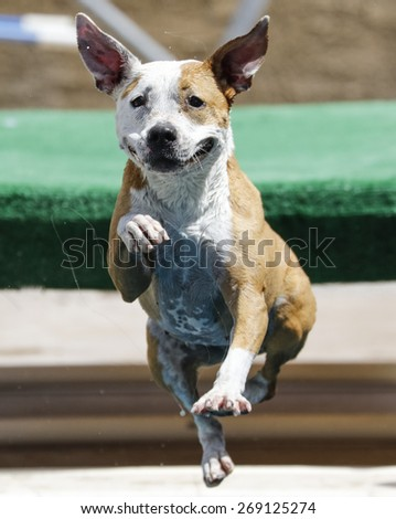 Dog jumping off the dock into the pool with his ears up - stock photo