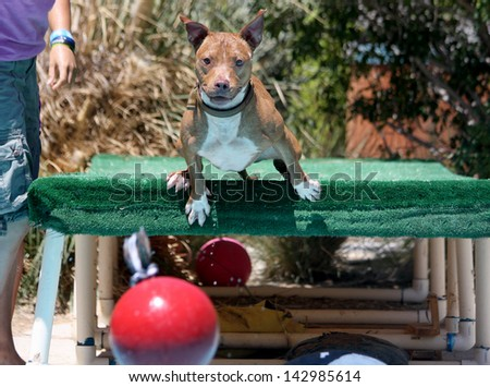 Dog jumping off the dock into the swimming pool after his red toy - stock photo