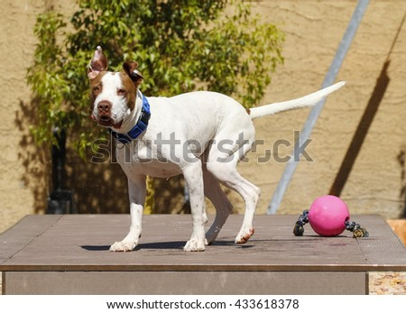 Dog just after shaking off water with his ears standing up - stock photo
