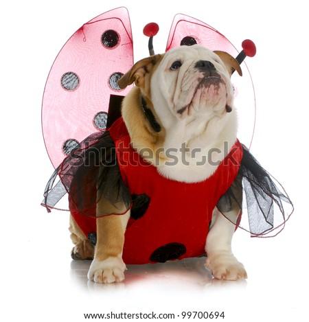dog ladybug - english bulldog wearing ladybug costume - stock photo