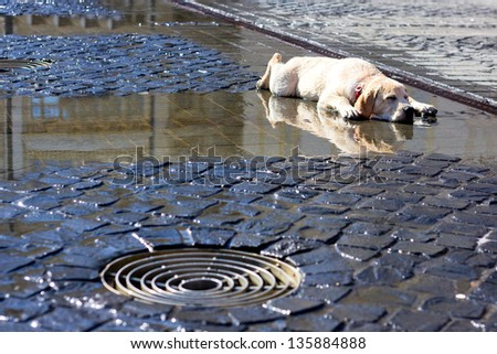 dog laying down and cooling on wet concrete - stock photo