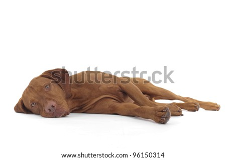 dog laying down on its side on white background - stock photo