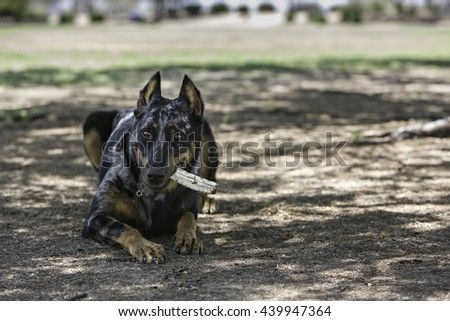 Dog laying outside chewing on a bone - stock photo