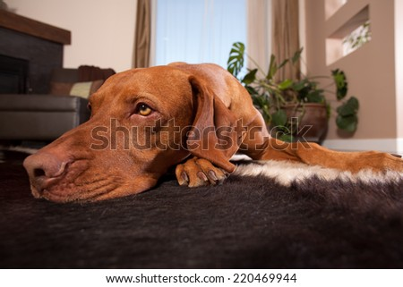 dog laying patiently on the floor of the home - stock photo