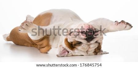 dog laying upside down - english bulldog on back sleeping isolated on white background - stock photo
