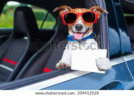 dog leaning out the car window showing a blank and empty drivers license - stock photo
