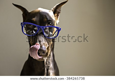 dog licking lips while wearing glasses in color - stock photo
