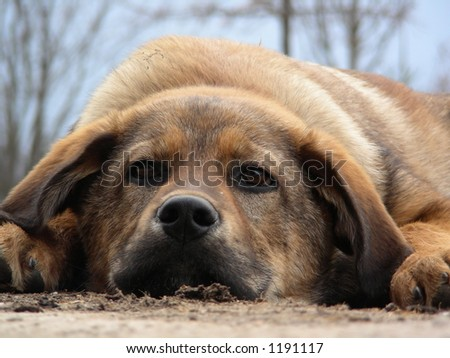 dog lies - stock photo