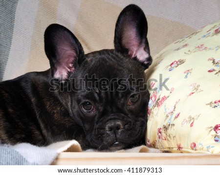 Dog lies comfortably on a pillow. The dog is black, thoroughbred - French bulldog. Big Dog Muzzle