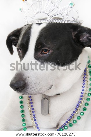dog looking regal in jewels - stock photo