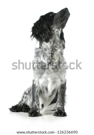 dog looking up - english cocker spaniel cross sitting looking up isolated on white background - stock photo