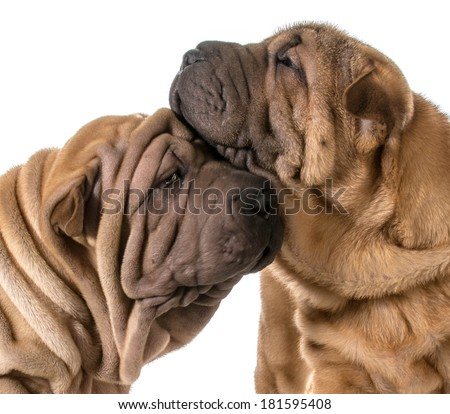 dog love - two chinese shar pei puppies cuddling each other - stock photo