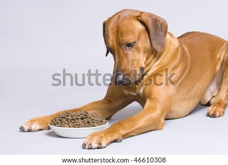 Dog lying at full food bowl - stock photo