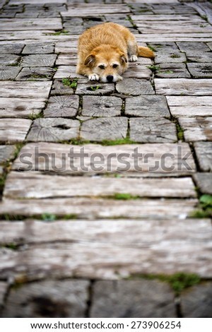 Dog lying down on the wooden path  - stock photo