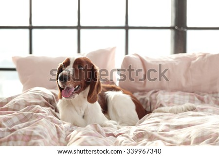 Dog lying in bed at morning - stock photo