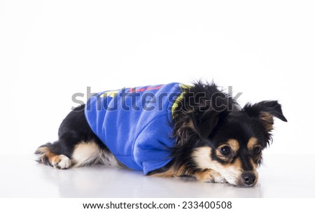 Dog lying looking right side wearing jersey - stock photo