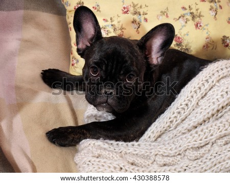 Dog lying on the bed, on the pillow under a knitted white blanket. Cute dog - stock photo