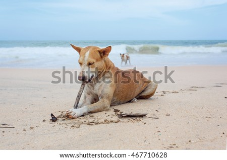 Dog lying on the sand on the island of Sri Lanka.