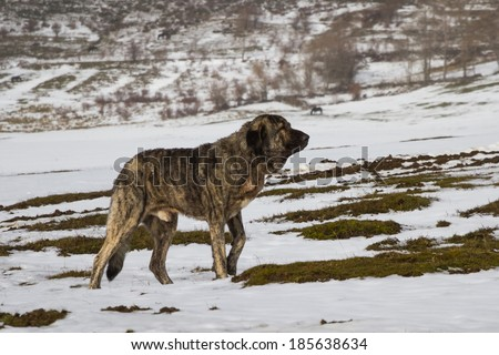 Dog Mastiff in snowy landscape with horses in the background - stock photo