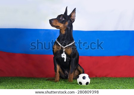 dog miniature pinscher on the background of the Russian flag with a soccer ball - stock photo