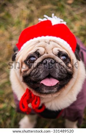 Dog Mops. Dog dressed as Santa Claus - stock photo