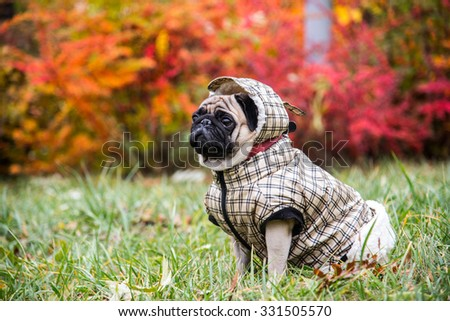 Dog Mops. Dog walking in bad weather. Warm clothes for dogs - stock photo