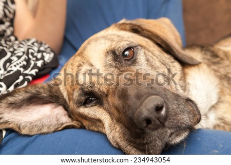 Dog napping on woman's knee - stock photo