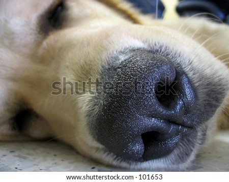 Dog Nose - stock photo