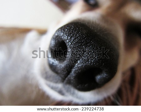 dog nose, close-up, front view - stock photo