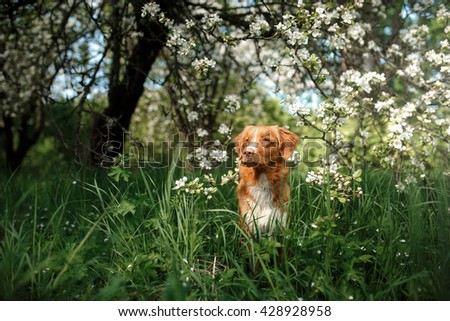 Dog Nova Scotia Duck Tolling Retriever walking in summer park, sitting on a tree on the background of white flowers in the orchard.