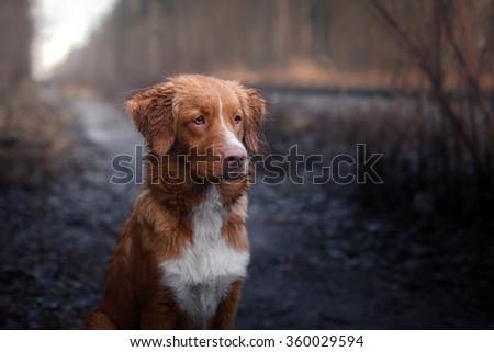 Dog Nova Scotia Duck Tolling Retriever walking in winter park - stock photo