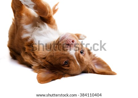 Dog Nova Scotia Duck Tolling Retriever, white background - stock photo
