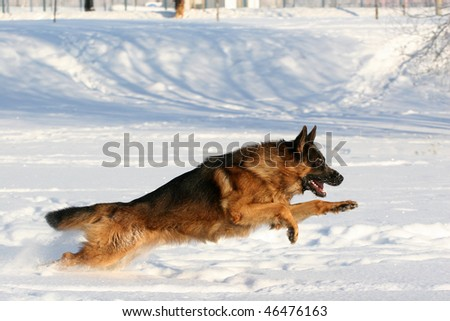 Dog of breed a German shepherd running in deep snow