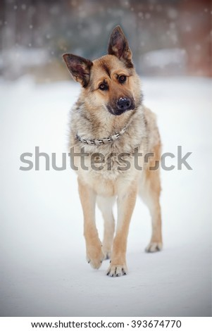 Dog of breed a sheep-dog walks in the winter. - stock photo