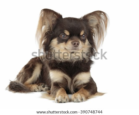 Dog of breed Chihuahua isolated on white background. - stock photo