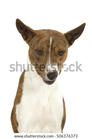 Dog of breed of Basenji a portrait on a white background.