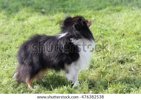 Dog of breed of the Sheltie at a agility training