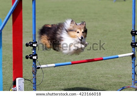 Dog of breed of the Sheltie at training on Dog agility - stock photo