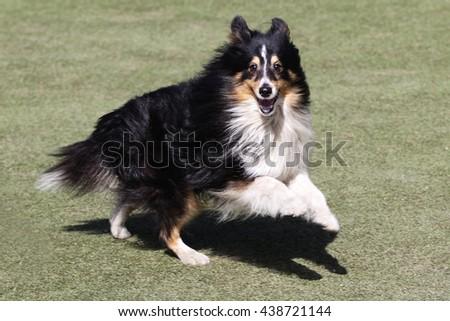Dog of breed of the Sheltie at training on Dog agility - stock photo