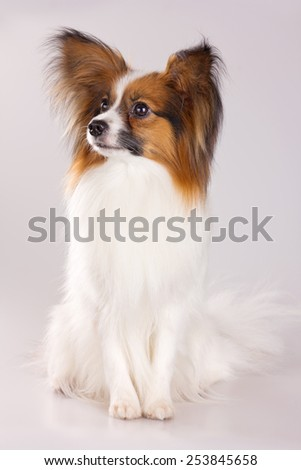 Dog of breed papillon on a gray background - stock photo