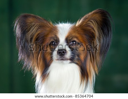 Dog of breed papillon on a green background
