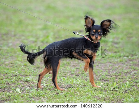 Dog of breed Russian Toy   on natural green background