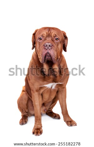 Dog of Dogue De Bordeaux isolated on white - stock photo