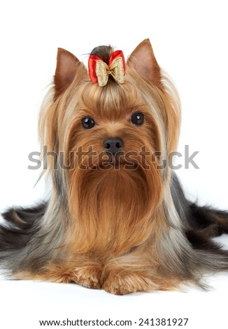 Dog of show class. Yorkshire terrier isolated on white.