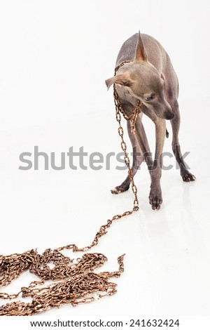 Dog on a chain - stock photo