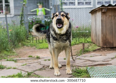 Dog on a chain. The dog protects the house. Vicious dog. The dog barks. dog on a leash. The German shepherd protects the house - stock photo