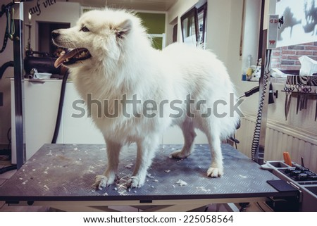 Dog on a grooming table. grooming table. Samoyed dog - stock photo