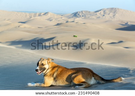 Dog on a sand dune near Huacachina, Peru with a dune buggy in the background - stock photo